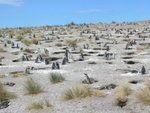 pinguin-reservat chubut in argentinien